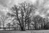 Methusalem Baum bei Bernried