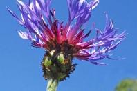 Ameisenversteck (Berg-Flockenblume)