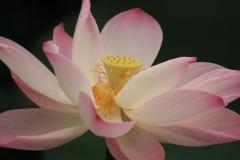 Vietnam Lotusblüte