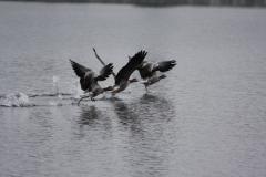 Aufbruch Gänse am Weßlinger See